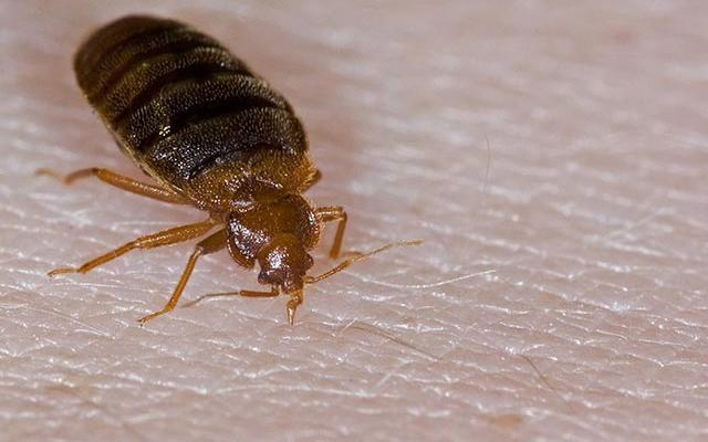 Bed Bugs Aaa Plus Exterminations